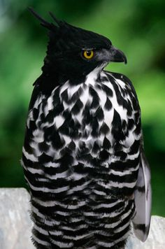 Blyth's Hawk-Eagle, (Nisaetus alboniger) is a medium-sized bird of prey. Like all eagles, it is in the family Accipitridae.