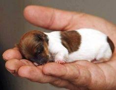 手のひらの上で眠る子犬