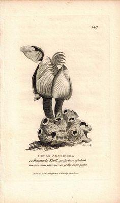 Barnacle Shell Lepas Anatifera 1809 Original Engraving Print by Shaw