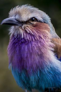 Colorful birds - Lilac Breasted Roller - title The Roller