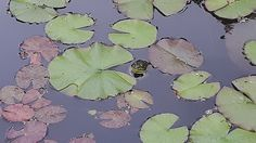Shop for frog art from the world's greatest living artists. Frog Design, Frog Art, Fine Art America, Plant Leaves, Lisa, Photos, Pictures, Wall Art, Artwork