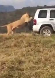Lion hitches ride on back of 4x4 in safari park