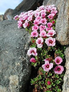The beautiful Saxifraga Lowndesii from Nepal in bloom at Tromso Botanical Garden, Northern Norway.