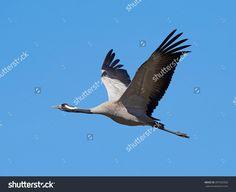 This image was sold today @Shutterstock: Common crane (Grus grus) #bird #wildlife #animal http://www.shutterstock.com/pic.mhtml?id=397325926