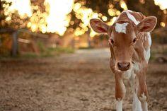 Beautiful baby calf