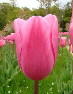 Triumph Tulip 'Mistress'