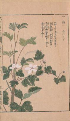 きいちご raspberry, 本草図譜 25巻, 岩崎, 灌園, Honzo-Zufu, KanEn Iwasaki(1830)