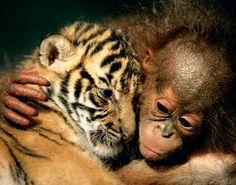 Ungewöhnliche Tierfreundschaften - Sumatratiger- und Orang-Utan-Babys, Indonesien 2007: Der Zoo von Cisarua zog zeitgleich zwei Orang-Utan- und Tigerbabys auf, die von ihren Eltern verstoßen worden waren. Die Tiere rannten, spielten und schliefen zusammen. Nach fünf Monaten wurden sie getrennt, weil die Tiger zunehmend kampflustig wurden. -