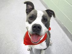 ORSON aka HEUVO - A1094518 - - Manhattan  Please Share:TO BE DESTROYED 10/30/16 **ON PUBLIC LIST** A volunteer writes: Are you suffering from a case of 'The Mondays'? Feeling lethargic, uninspired or just plain bored? Fear not, your dashing doggie Doctor is here, and he has the very prescription to cure those blues in an instant…a date with himself of course! Wave goodbye to bad vibes and haters and say hello to Orson: the silliest, friendliest, not-a-mean