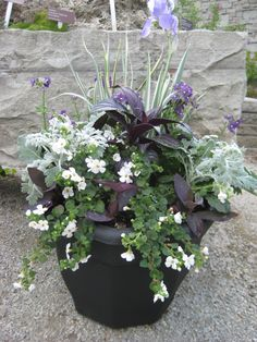 Dusty Miller, Persian Shield, Purple Heart, Bacopa, Verbena(?), Variegated Iris (substitute ribbon grass?)