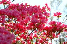 lovely azaleas
