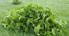 Listy chrenu – jediná rastlina, ktorá dokáže ťahať soľ cez póry kože. Oboznámte sa s ich využitím Parsley, Lettuce, Spinach, Ale, Herbs, Vegetables, Food, Beer, Ale Beer
