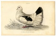 Instant Art Printable Download - Beautiful Bird - Dove or Pigeon - The Graphics Fairy