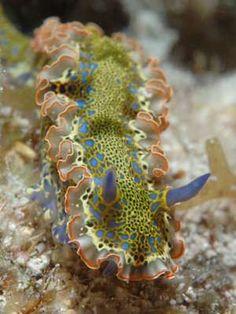 The Sea Slug Forum - Hypselodoris acriba