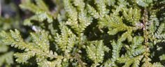 Selaginella braunii by Cretaceous