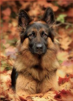 Wicked Training Your German Shepherd Dog Ideas. Mind Blowing Training Your German Shepherd Dog Ideas. Big Dogs, I Love Dogs, Cute Dogs, Dogs And Puppies, Doggies, Chihuahua Dogs, Beautiful Dogs, Animals Beautiful, Adorable Animals