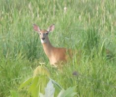 White-Tailed Deer  5-28-12