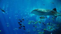 México protege el tiburón ballena