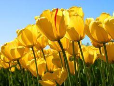 #desktopwallpaper #tulips #flowers #photography #flora #wallpapers #plants #yellow #garden #outdoors #posters