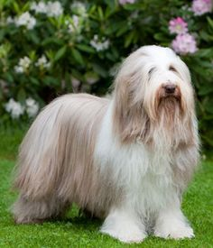Bearded Collie Collie Breeds, Dog Breeds, Cute Dog Photos, Bearded Collie, Animal Magic, Fluffy Dogs, Kittens And Puppies, Family Dogs, Beautiful Dogs