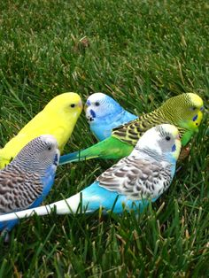 Budgies in the green grass