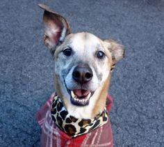 A1061000ai1 – 1   Al    NEUTERED MALE, BROWN / BLACK, GERM SHEPHERD MIX, 10 yrs OWNER SUR – ONHOLDHERE, HOLD FOR ID Reason NO TIME Intake condition GERIATRIC Intake Date 12/19/2015, From NY 10473, DueOut Date 12/19/2015,