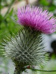 The Scottish Thistle-----This is the national flower of Scotland and is very well known Scottish symbol. This unusual, prickly flower grows wild and free, sometimes quite stubbornly which makes it a fitting symbol for the spirit of the Scottish people.The Scots Thistle belongs to the Cotton Thistle genus.The Order of the Thistle is a Scottish chivalric order which dates from 1687. With the exception of the British monarch, the members of the order must all be Scottish-born.