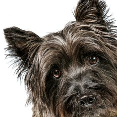 Daily Dose - April 29, 2015 - Stewie says Hi! - Cairn Terrier 2015©Barbara O'Brien Photography