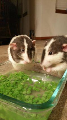 My boys Teddy and Bernie bobbing for frozen peas! #aww #cute #rat #cuterats #ratsofpinterest #cuddle #fluffy #animals #pets #bestfriend #ittssofluffy #boopthesnoot