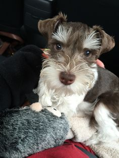 Copper :) our liver and white Miniature Schnauzer