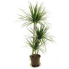 Easy Houseplants Madagascar Dragon Tree Indoor Houseplant Other Low Light