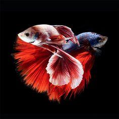 portraits de poissons combattants 5   Splendides portraits de poissons combattants   Visarute Angkatavanich portrait poisson photo combattan...