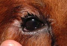 As you can see, this dog's eye waters excessively. A lot of people think it may be allergies, or a cold but you should never try and diagnose your pet yourself!! This is more common is some breeds than others (Chows, Charpeis, etc) The dog is born with this condition..the eyelids actually roll under causing a constant irritation on the eye. If left untreated aside from the pain the pet is in, it could develop ulcers on the eye and eventually go blind. This is known as Entropion