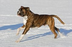 Boxers are originally a German breed and are cousins to almost all types of Bulldogs. Their distant ancestors are believed to have come from fighting dogs bred in Tibet. Best Dogs For Families, Family Dogs, Running In Snow, Boxer Dog Breed, Snow Patrol, Boxer Love, German Shorthaired Pointer, Doberman Pinscher, Nova Scotia