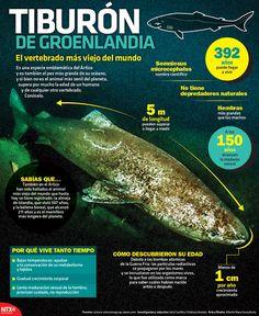 El tiburón de Groenlandia puede llegar a vivir hasta 392 años, su etapa de madurez sexual la alcanza a los 150 años. Conoce más información en la #Infographic