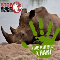 Help save our rhinos! rhinos in South Africa, rhino, anti poaching, poaching of Kruger National Park Safari, National Parks, Rhino Poaching, Rhinos, Biomes, African Safari, South Africa, Trip Advisor, Lion