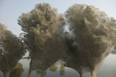 Pakistan: Alberi bozzolo creati da milioni di ragni scappati dalle inondazioni del 2010