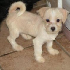 Hail is an adoptable West Highland White Terrier Westie Dog in Terre Haute, IN. Just a best guess on breed. Five puppies were pulled into foster by a volunteer to keep them out of the shelter. Another...