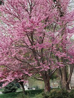 Redbud trees, so pretty in spring