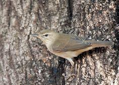 Booted Warbler(Iduna caligata)