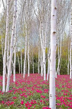 ✯ Tulips and Birch
