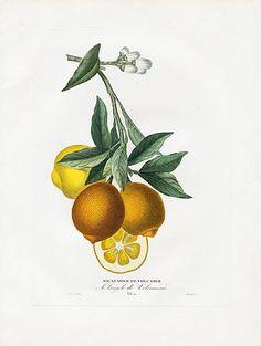 Bigaradier de Volcamer|Poiteau & Risso Antique Fruit Prints 1818 Oranges & Lemons