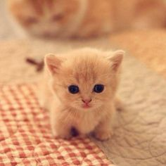 baby kittens, kittens cutest, cats and kittens, baby animals Baby Animals Super Cute, Cute Baby Cats, Cute Funny Animals, Funny Cats, Baby Pets, Kittens Cutest Baby, Cute Pets, Cats Humor, Dog Humor