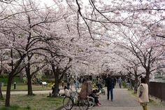 https://flic.kr/p/F75KrY | Cherry Blossoms, Kema-Sakuranomiya-koen Park, Osaka, 2016 | 毛馬桜之宮公園