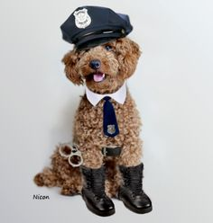 #poodle, #miniature, #apricot, #police officer, #dog https://www.facebook.com/niconki/