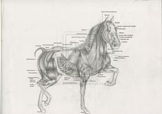horse muscle anatomy by spanishartist on deviantART