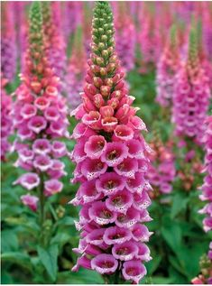 Most foxglove blossoms point down but this one points UP so the beautiful blooms that start peachy and end up dark pink very showy. Foxglove (Digitalis hybrida Candy Mountain) Perennial, Tall 3-4' (Plant 1-2' apart) Bloom Time: Early Summer to Late Summer Sun-Shade: Mostly Sunny to Mostly Shady Zones: 4-9   I started these from seed and I risked planting them (with trepidation) in an area with shade most of the day but hot afternoon sun. They thrived and all of them grew to AT LEAST 4 feet!