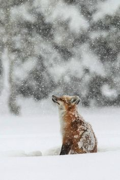 "beautiful-wildlife: Young Red Fox Sniffing the Snow ""Winter Magic by Sandy Sisti"