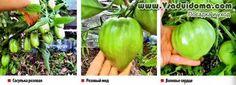 томаты бесполивная технология
