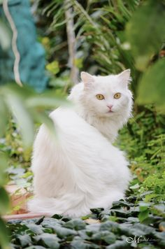 a white cat by mujahid alomary on 500px